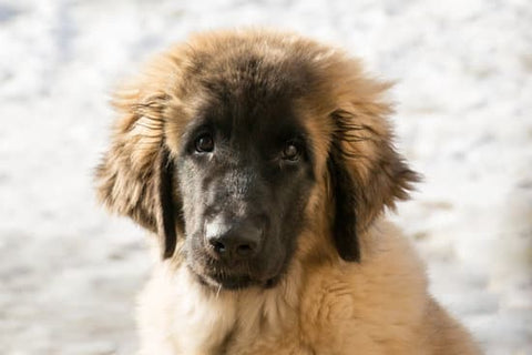 Leonberger puppy looking nervously at the camera