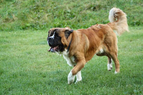 Saint Bernard running around outdoors on a nice day