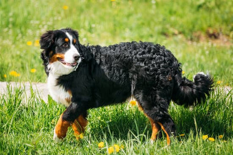 Bernese Mountain Dog frolicking in a grassy field with dandelions
