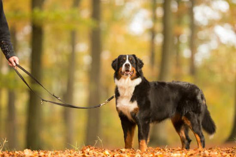 Bernese mountain dog on a leather leash in a fall park
