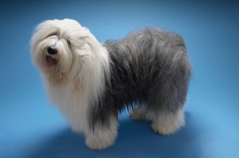 Old English sheepdog with a blue background