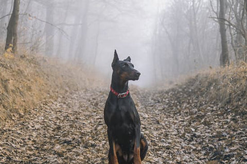 Doberman pinscher sitting on a path covered in leaves on a foggy morning