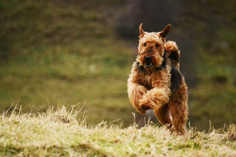 Airedale Terrier jumping around a grassy park