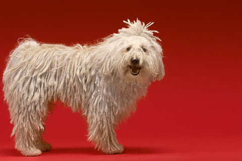 Komondor with its hair tied up out of its eyes with a red background