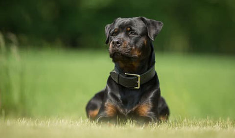 Rottweiler looking majestic with a leather collar in the park