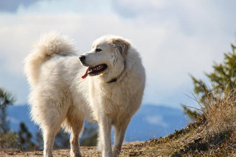 Great Pyrenees standing on a hiking train in front of a mountain