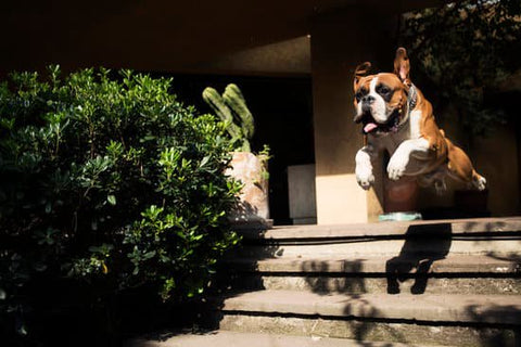 Brown Boxer Jumping down the porch steps to greet someone on a sunny day