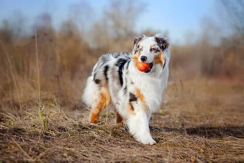 Australian Shepherd in a field with a small basketball in its mouth