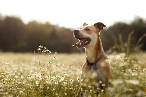 Brown dog panting in a field of flowers on a warm day