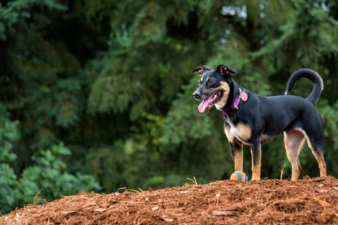 Mixed breed dog on a mound of mulch with a ball