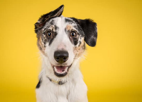 Hyper dog posing for a photo in front of a yellow background