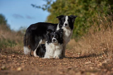 Two border collies sitting on a dirt road next to trees