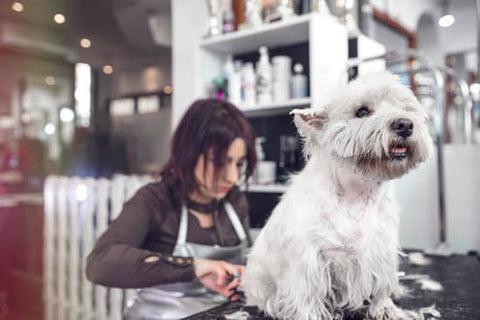 Small white dog getting trimmed by a groomer