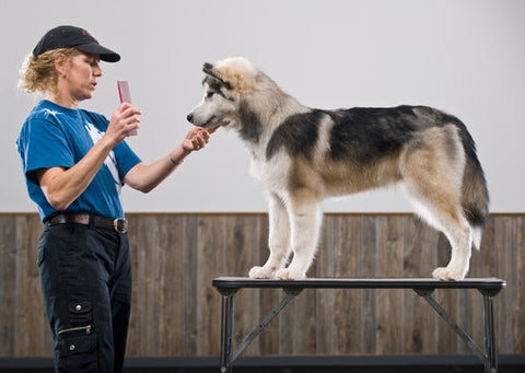 Show dog being fluffed out after a grooming by a professional