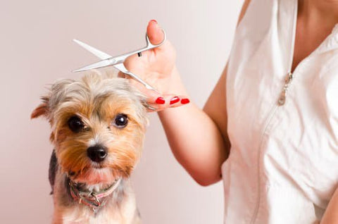 Yorkie getting the top of its head hair trimmed
