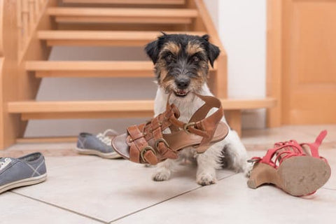 Terrier chewing on a shoe in front of the stairs