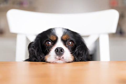 King Charles Spaniel Looking Anxious At The Kitchen Table