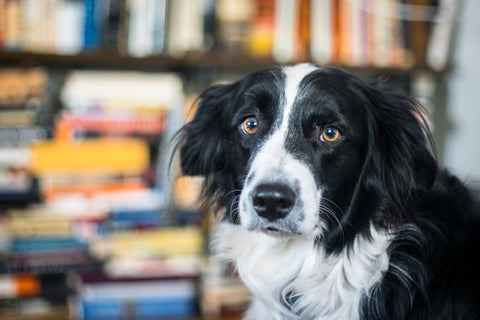Border collie looking sad in front of a bookshelf