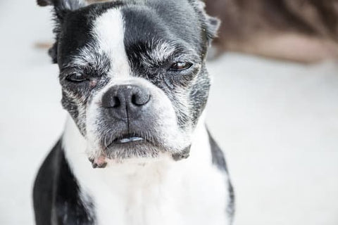 Old grumpy Boston terrier on a sunny day