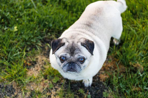 Larger Pug playing in a grassy area