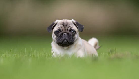 Small pug sticking up out of tall grass