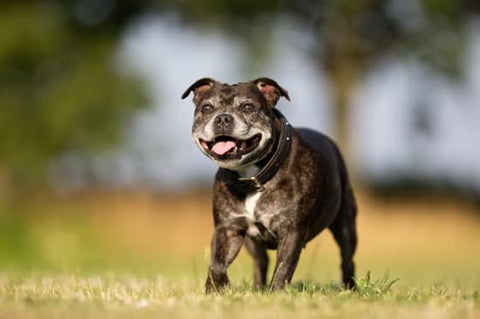 Old smiling dog playing in a park