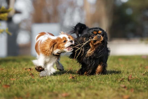 Two Cavalier King Charles Spaniel playing with a stick in the back yard