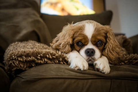 Sad looking Cavalier King Charles Spaniel chilling on a cozy brown couch