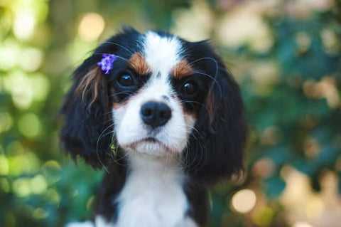 Young Cavalier King Charles Spaniel with a flower in their hair