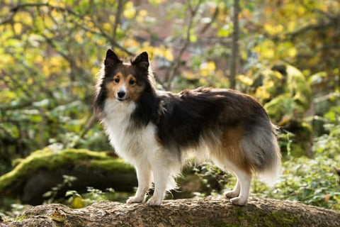 Small long haired dog standing on a log in a forest