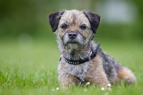 Scruffy Terrier playing in a grassy field