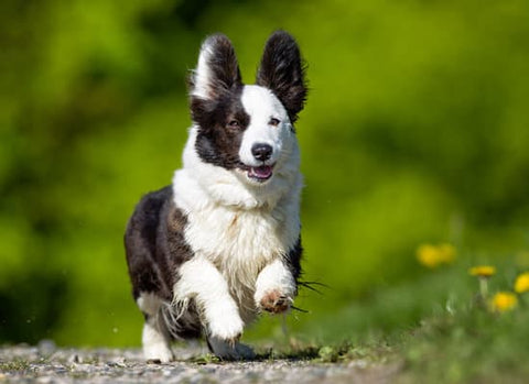Black and White Corgi running on a path