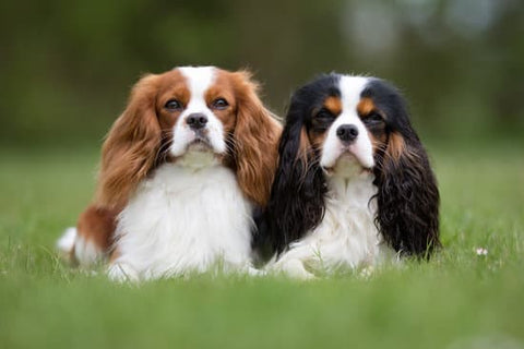 Two king Charles spaniels sitting together in a grassy park