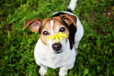 Small Terrier sitting patiently with a yellow flower on its nose