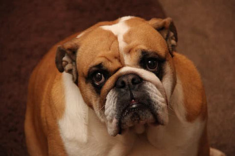 Sad looking bulldog sitting on the floor looking at the camera