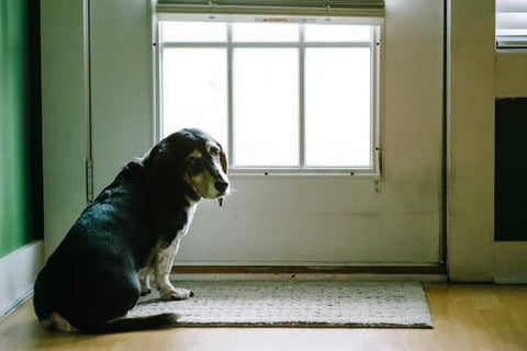 Old beagle looking sad next to the door on a sunny day