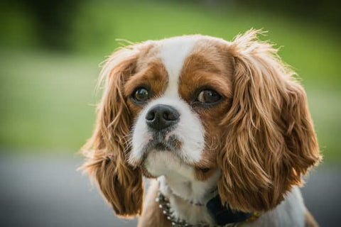 King Charles spaniel looking scared at the camera with a chain collar