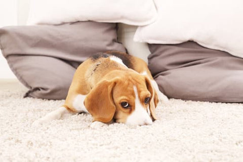 Beagle laying on a shaggy white carpet looking sad