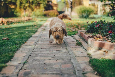 Shaggy Dog Walking Down The brick Path Of A Garden