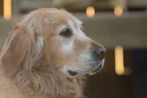 Older Golden Retriever Being Good