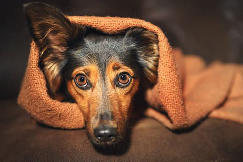 Pointy eared black dog looking anxious under an orange blanket