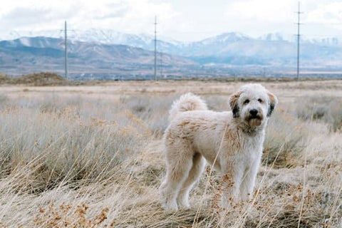 Labradoodle standing in front of the Colorado mountains