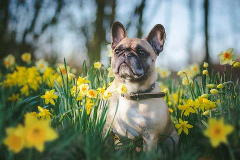 French bulldog standing in a patch of yellow tulips