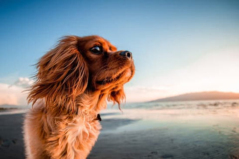 King Charles spaniel standing on a beach at sunset