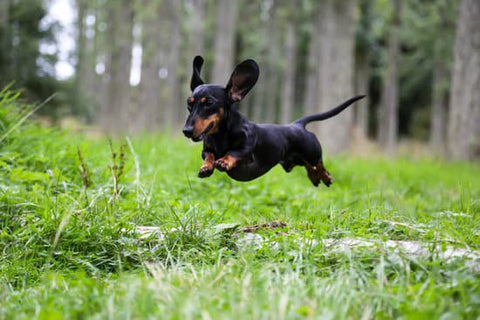 Black Dachshund leaping over a puddle in the woods