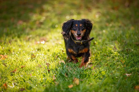 Long haired black Dachshund with a big collar running in the yard
