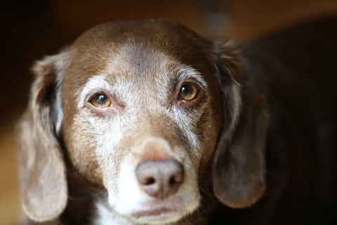 Old Brown Dog with graying hair on its face