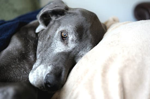 Old Great Dane with a grey face laying on a pillow