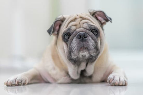 Old pug with wrinkly skin laying on the ground