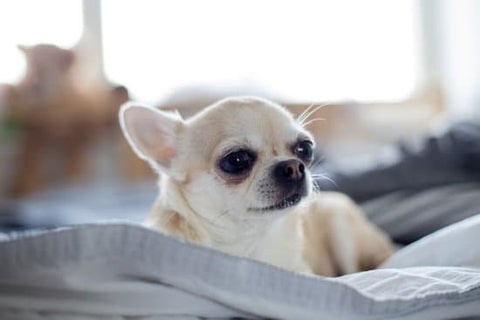 Old Chihuahua laying in bed on a sunny day